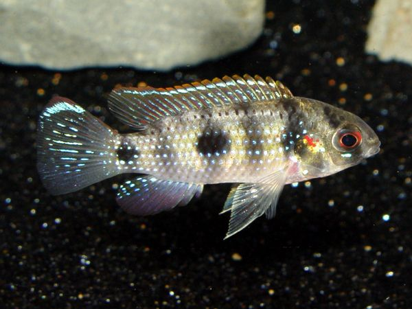 African Butterfly Cichlid Anomalochromis Thomasi Colorful Tropical Fish Pictures Tropical Fish Pictures Cichlids Tropical Fish