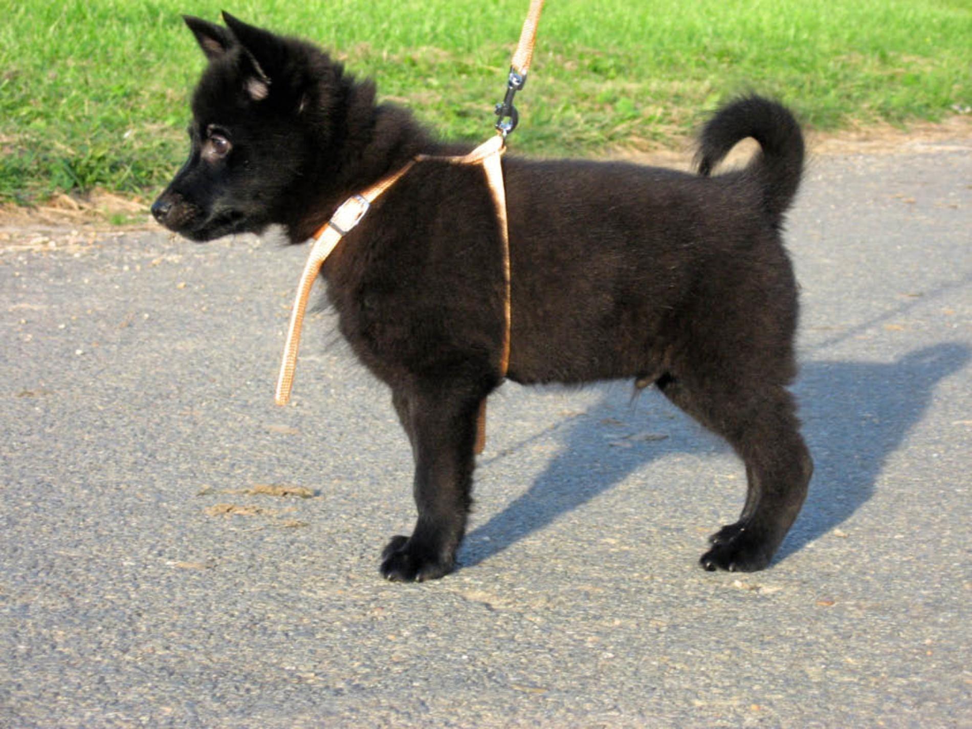 Schippeke Puppy Dobermann Welpen Hunde Hundefotos