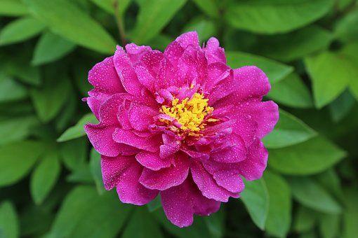 Blossom, Bloom, Peony, Flower