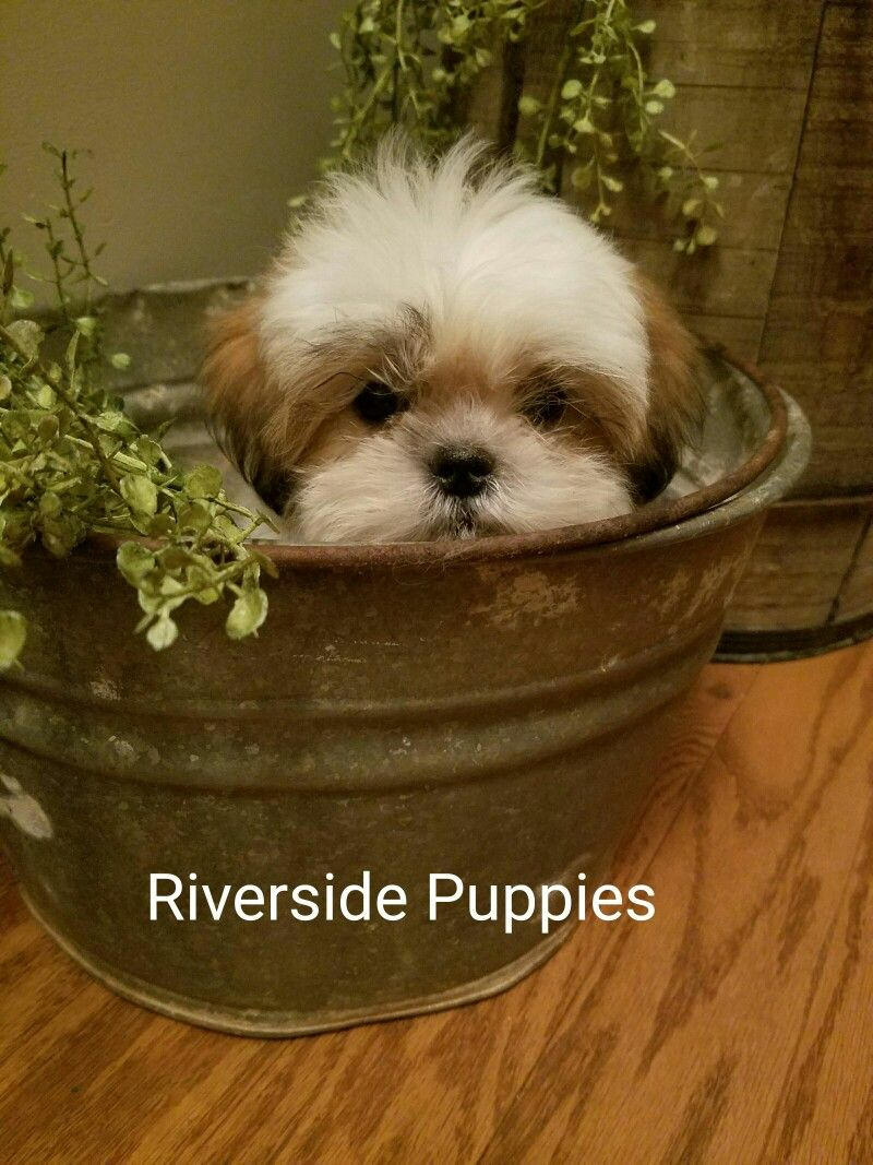 Puppies Image By Riverside Puppies Ohio Trish B On Riverside