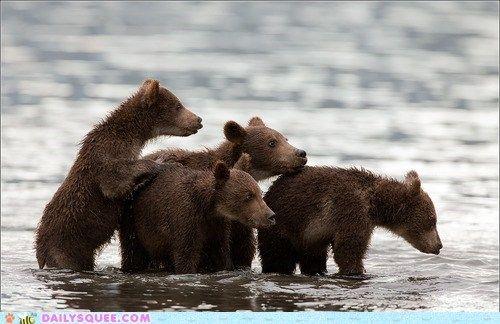 Lazy Bear Cubs