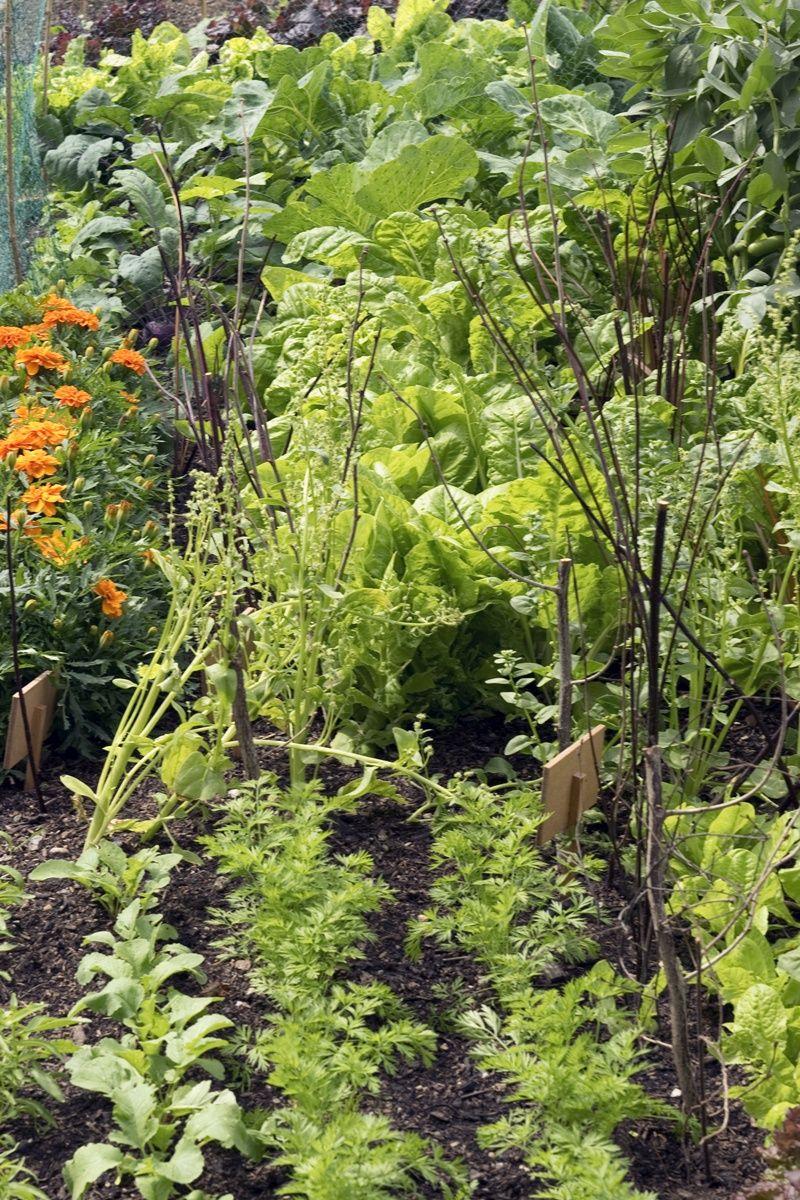 Quittenbaum Pflanzen Pflegen Standort Stachelbeeren Pflanzen Tomaten Garten Und Pflanzen