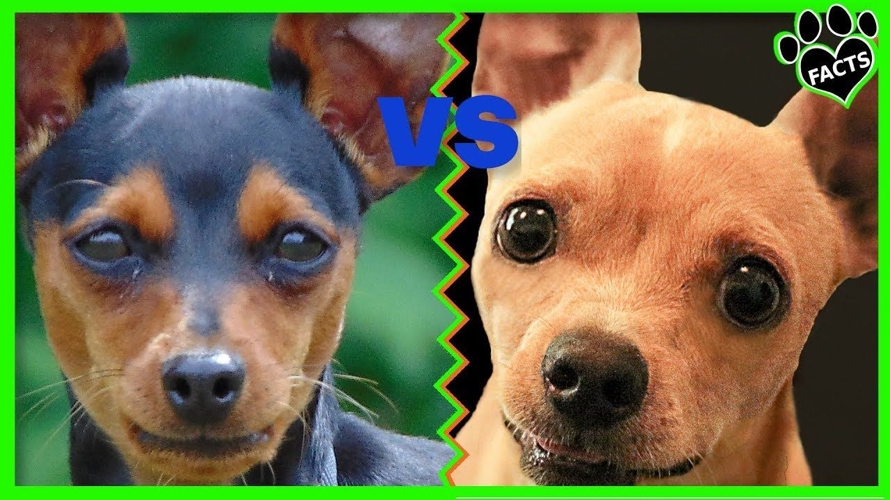 Miniature Pinscher Vs Chihuahua Dog Vs Dog Which Is Better