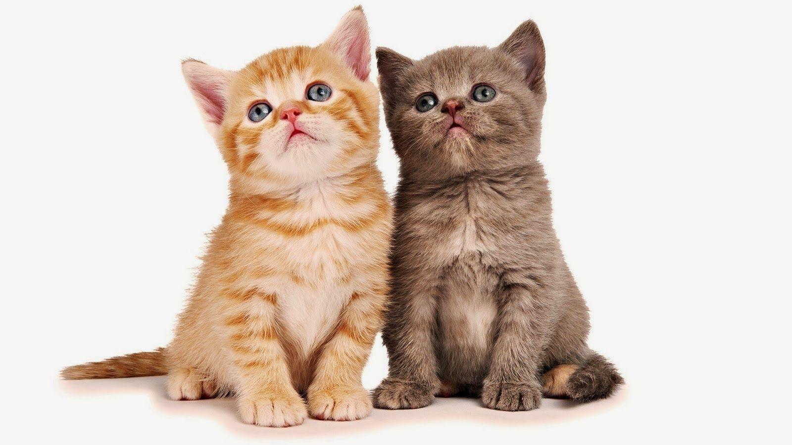 katzen mit zwei junge katzen als beste freunde hd. Black Bedroom Furniture Sets. Home Design Ideas