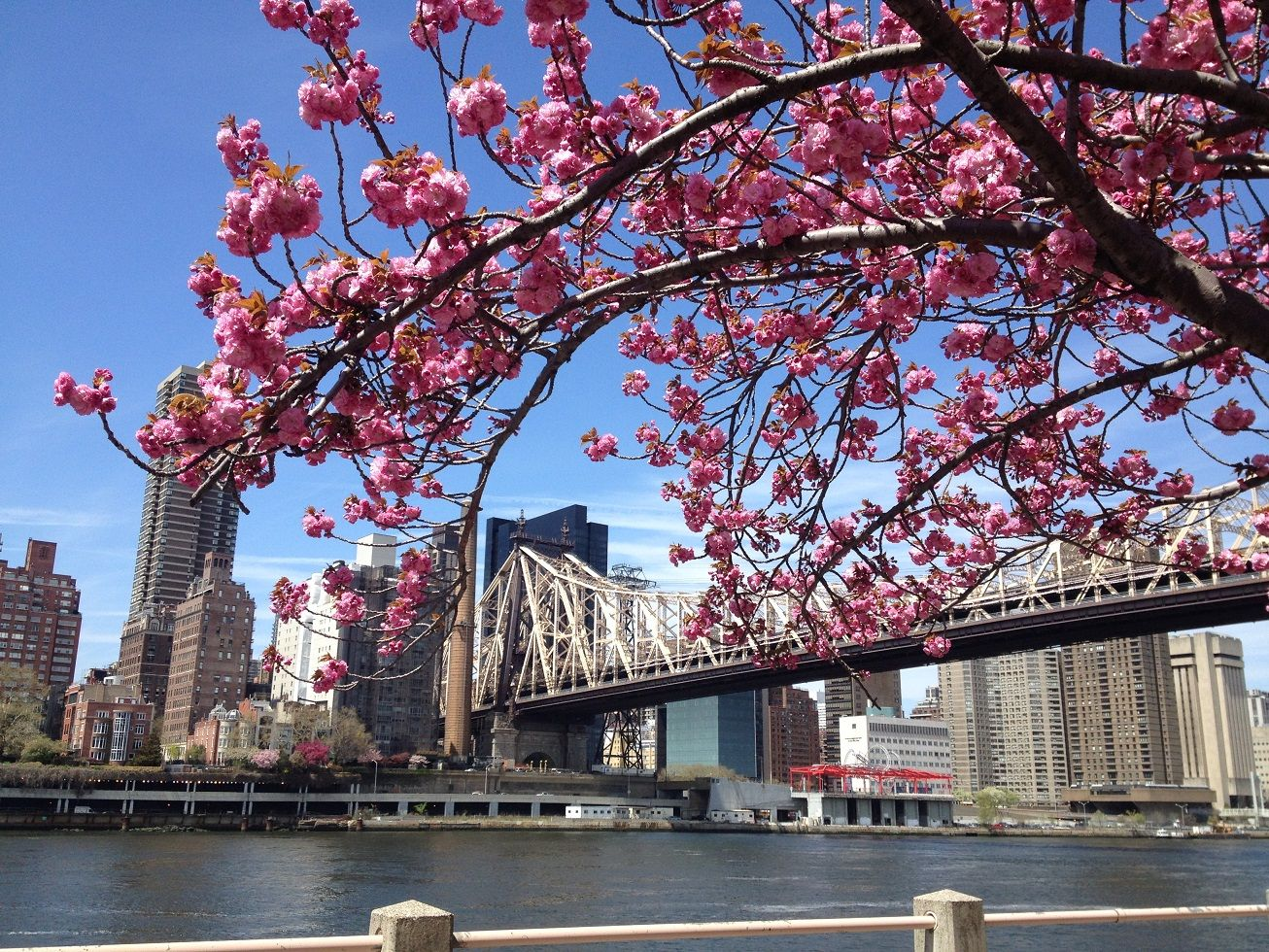 Roosevelt Island Cherry Blossoms Take The Tram To See Some Of Nyc S Most Beautiful Spring Flowers Roosevelt Island Cherry Blossom Island