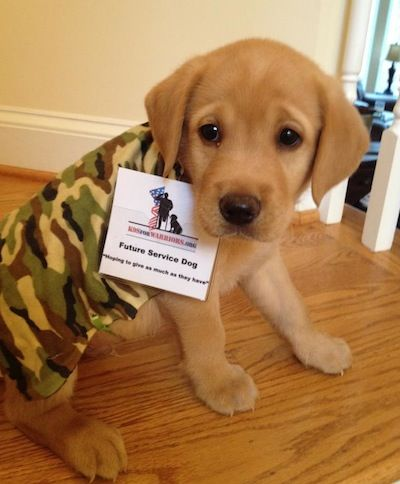 Shy Faced Service Puppy At K9s For Warriors It S Ok Little Guy You Can Handle Your New Job Service Dogs Dogs Service Animal
