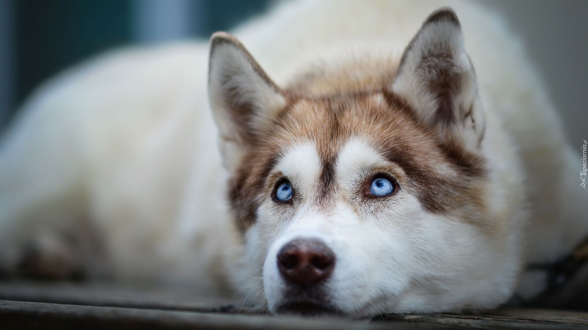 These 5 Tips Will Keep Your Pets Cool This Summer Siberian Husky