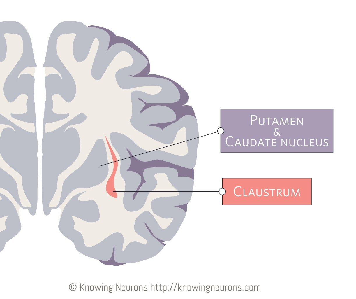 What the Heck is a Claustrum? #consciousness #anatomy #self ...