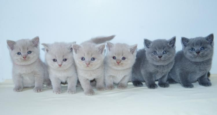 Pin Von Lisa Auf Gatti Baby Katzen Bkh Katzen Katzen