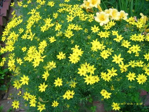 Plant Of The Day Threadleaf Coreopsis Zagreb Rainforest Plants Blooming Plants Plants