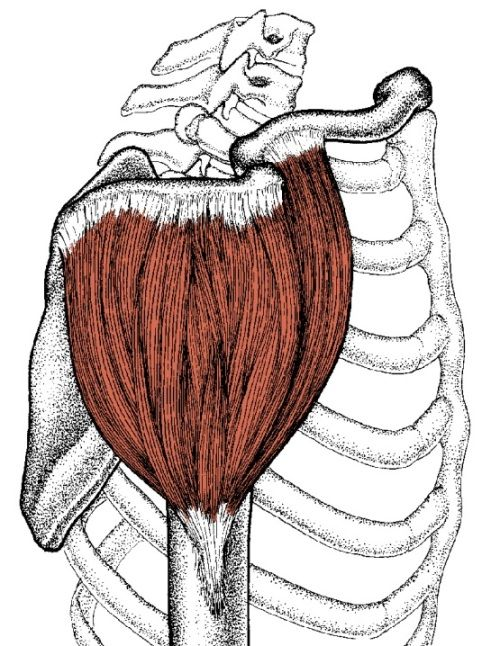 Side View Diagram Of Deltoid Muscle Shoulder Pinterest Muscles