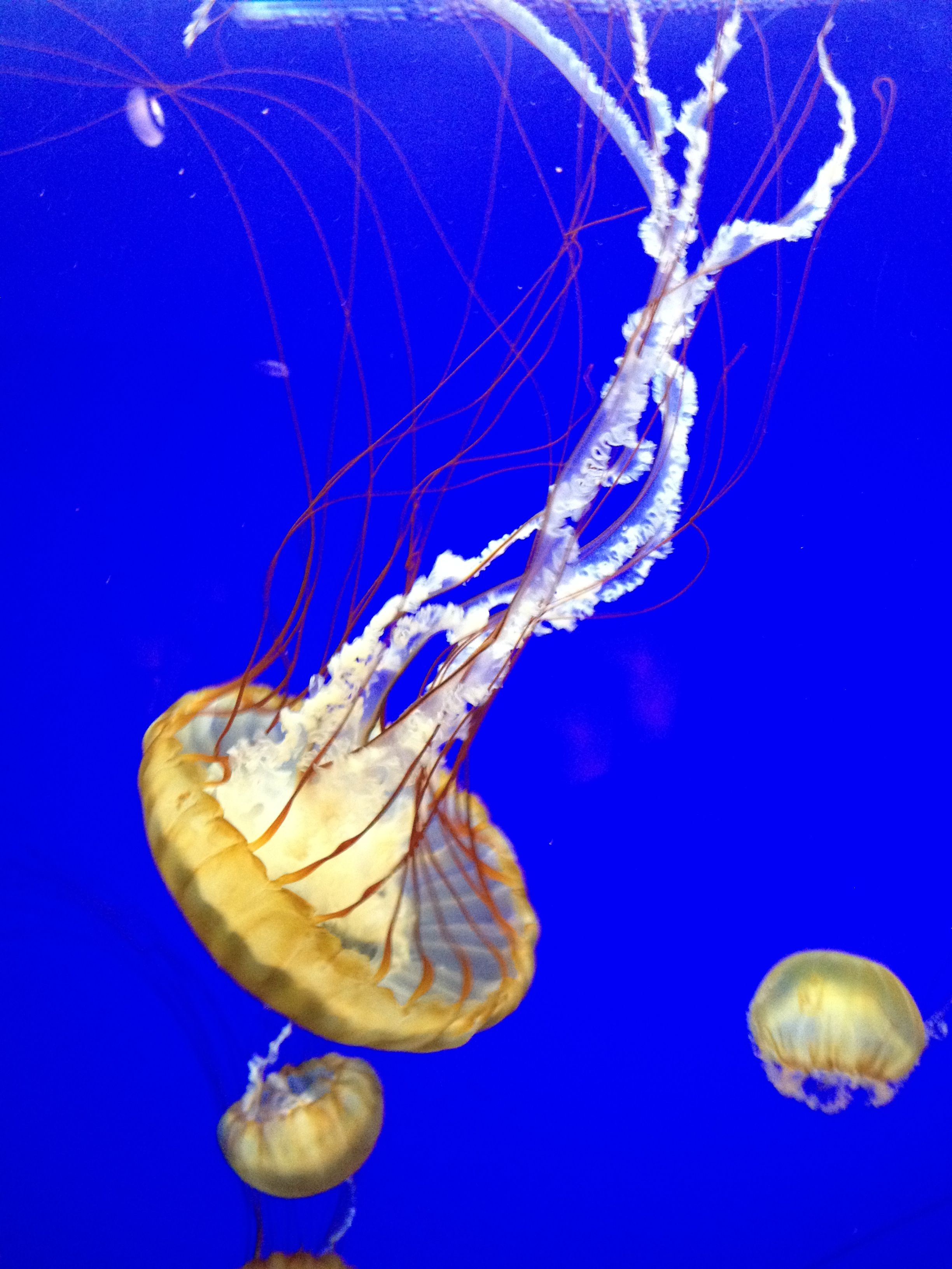 Jellyfish Animals, Pets, Fish