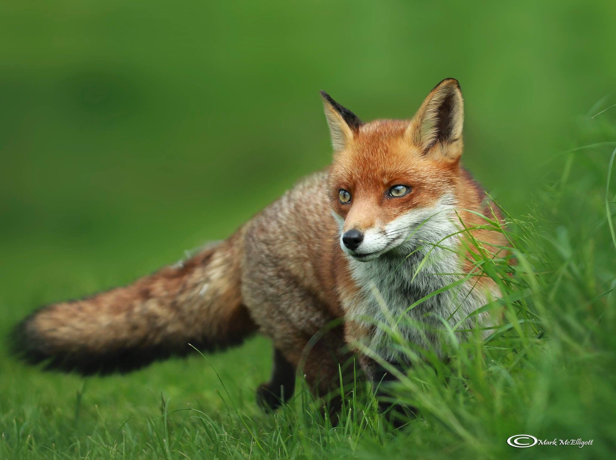 Freedom Fox Red Fox Animals