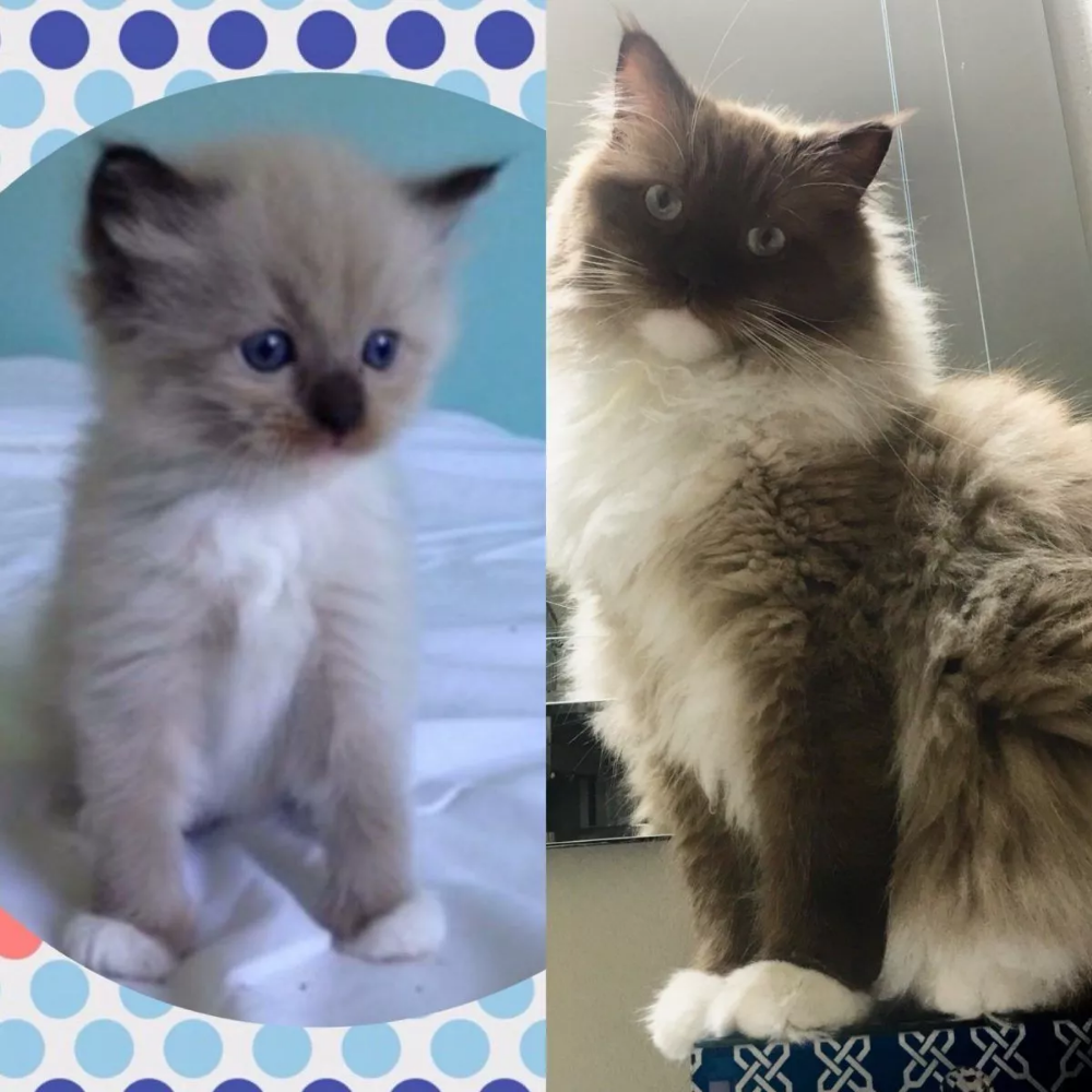 Ragdoll Cat Colors Ragdoll Cat Color Progression And Development In 2020 Ragdoll Cat Colors Cat Colors Ragdoll Cat