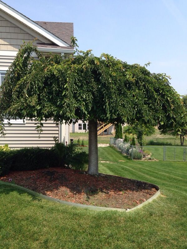 Weeping Cherry Tree Prunus Sp Weeping Cherry Trees Are Grafted Trees They Grow Best In Full Sun W Weeping Cherry Tree Landscape Trees Maple Tree Landscape