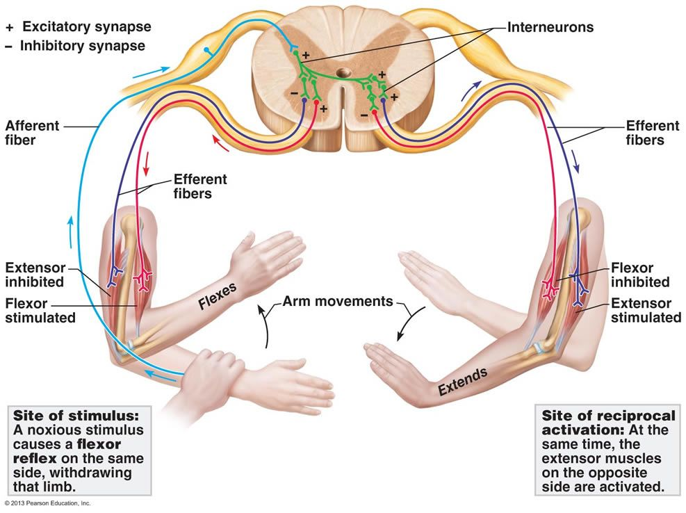 Reflex Arc Diagram Pwm Wiring When Something Stimulates Or Irritates One Side Of The Body There Is Often A Response On Opposite