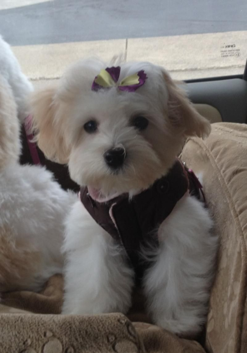 View source image Maltipoo puppy, Your dog, Bored dog