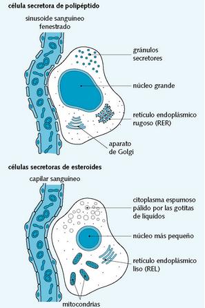 Aspecto de una célula secretora de polipéptidos y de una célula ...