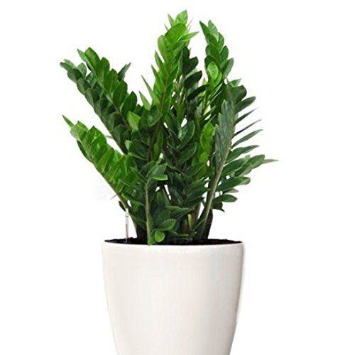 Zamioculcas piante appartamento zamioculcas la pianta for Bonsai pianta