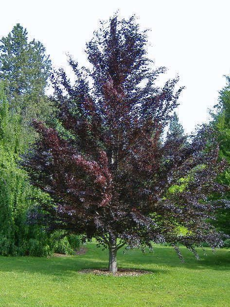 Rivers purple beech is an extremely unique specimen tree for Specimen trees zone 5
