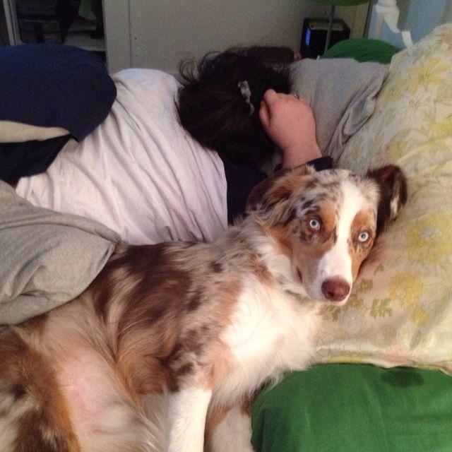 Schuler Taking A Nap Australian Shepherd Aussie Dogs Take A Nap