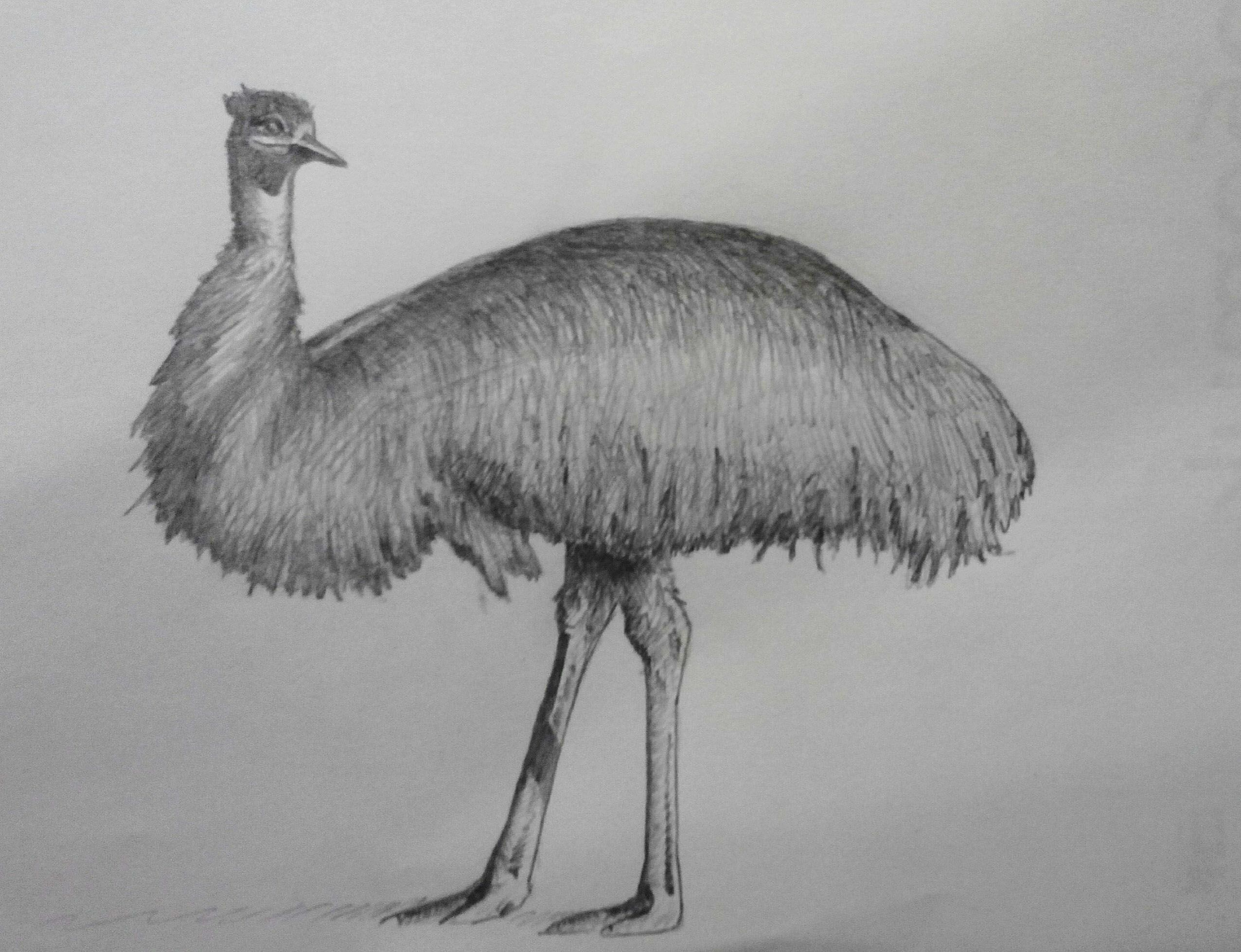Emu Mobili ~ Скетч олівцем Ему pencil sketch emu Малюнки олівцем мої
