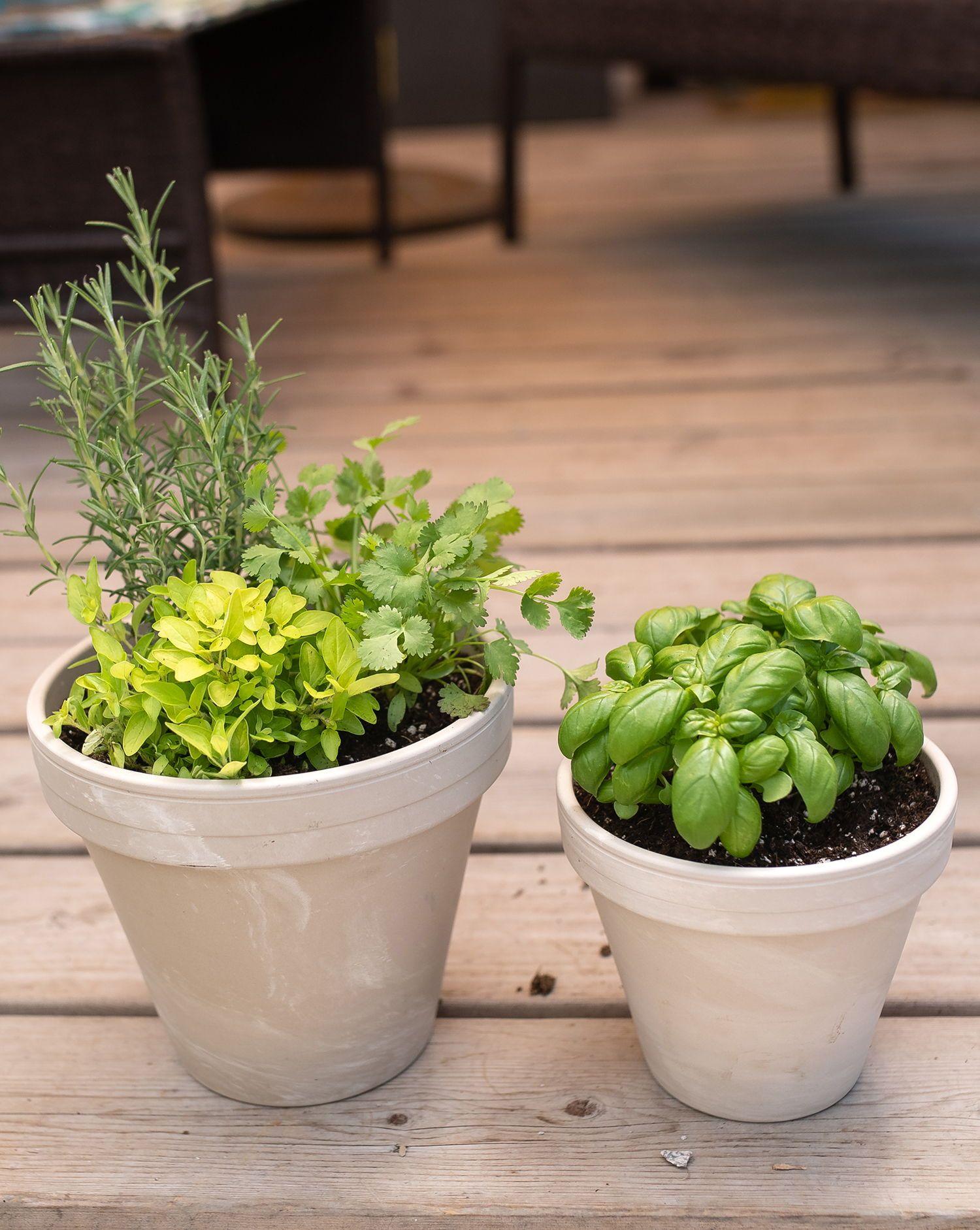 Herbs In White Terra Cotta Pots Www Westcoastgardens Ca Surrey