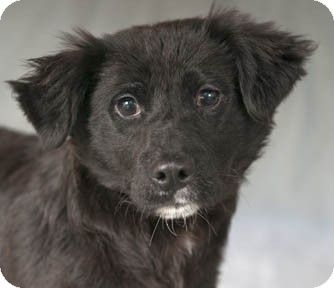 Chicago Il Border Collie Australian Shepherd Mix Meet Jinx A Puppy For Adoption With Images Cat Adoption Cat Hug Pets