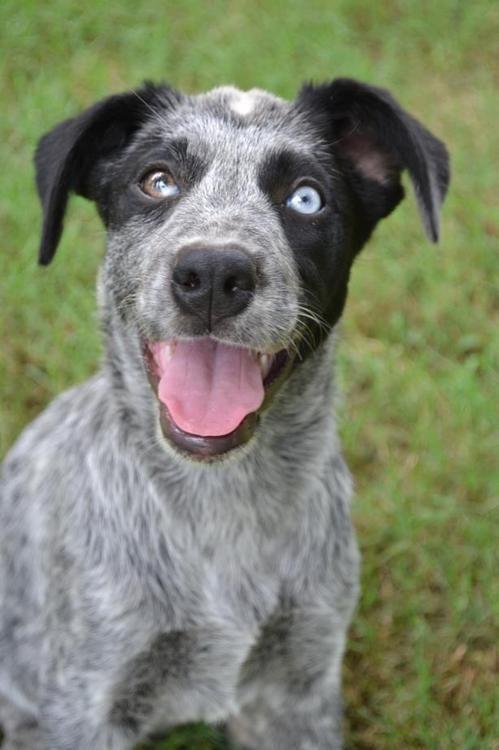 Beautiful Blue Heeler Blue Heeler Puppies Cattle Dogs Rule