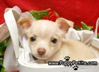 Nyc Puppy Chihuahuas For Sale Chihuahua Poodle Puppy