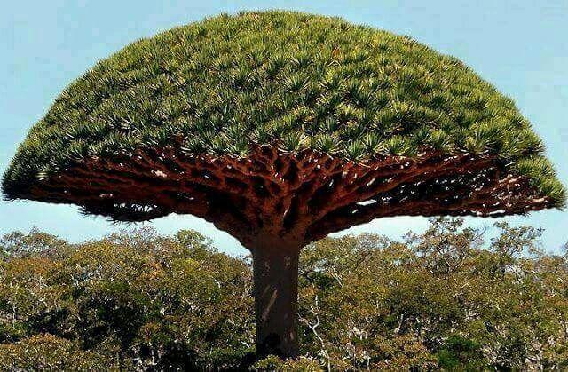 Albero del drago isole Canarie