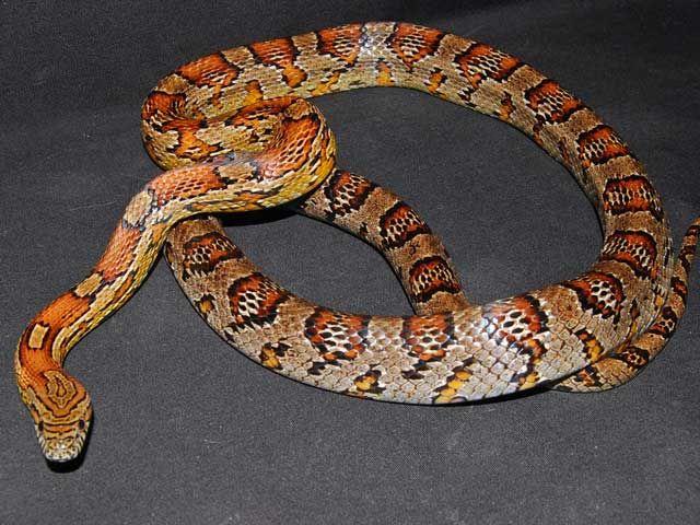 Alabama Cornsnake Corn Snake Reptile Room Reptile Breeder