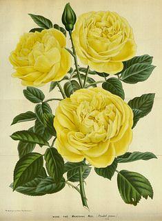 Rosa hort. cv. Thé Maréchal Niel. Flore des serres et des jardin de l'Europe, vol. 16 (1865-1867)