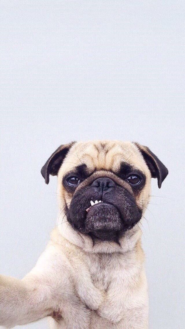 Pin By Yesim On A N I M E L Pinterest Pugs Pug Wallpaper And Dogs