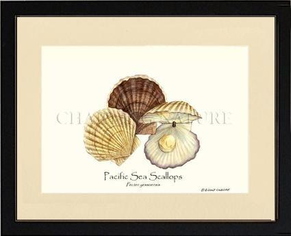 Scallops Pacific Sea Shellfish Illustration Fish Illustration Shellfish Art