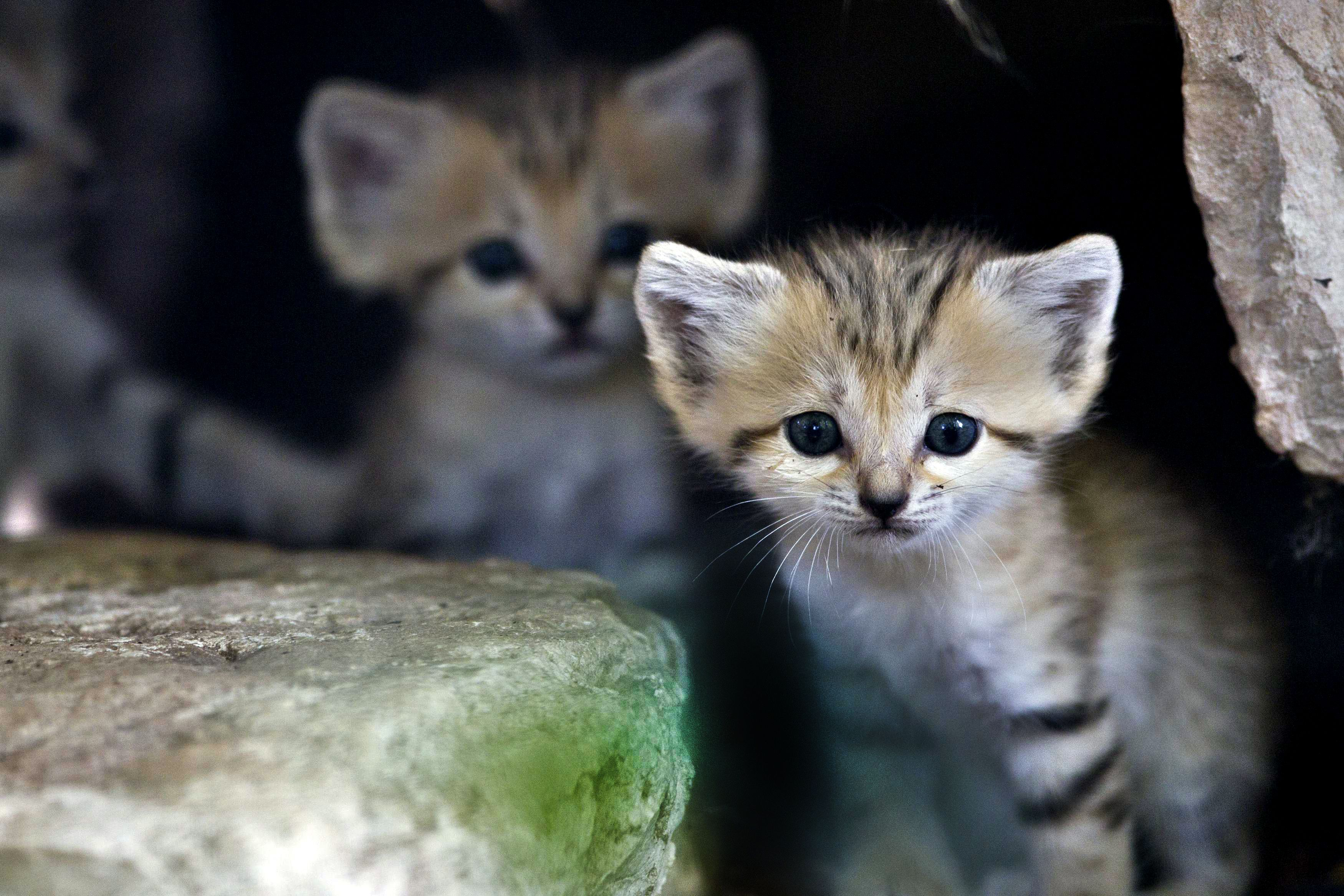 extinct animals Google Search Animals, Sand cat