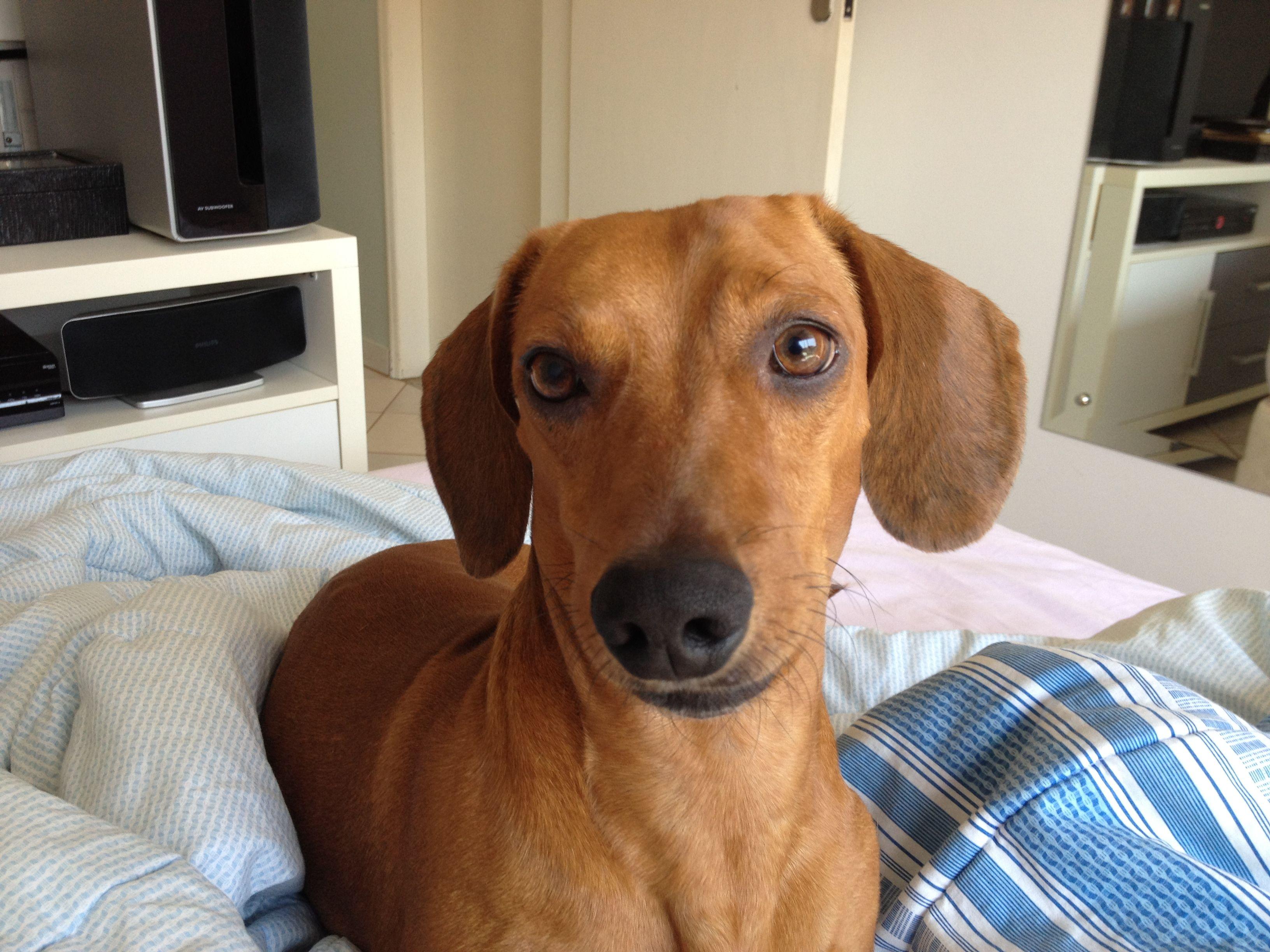 Goddard dachshund golden retriever doxie
