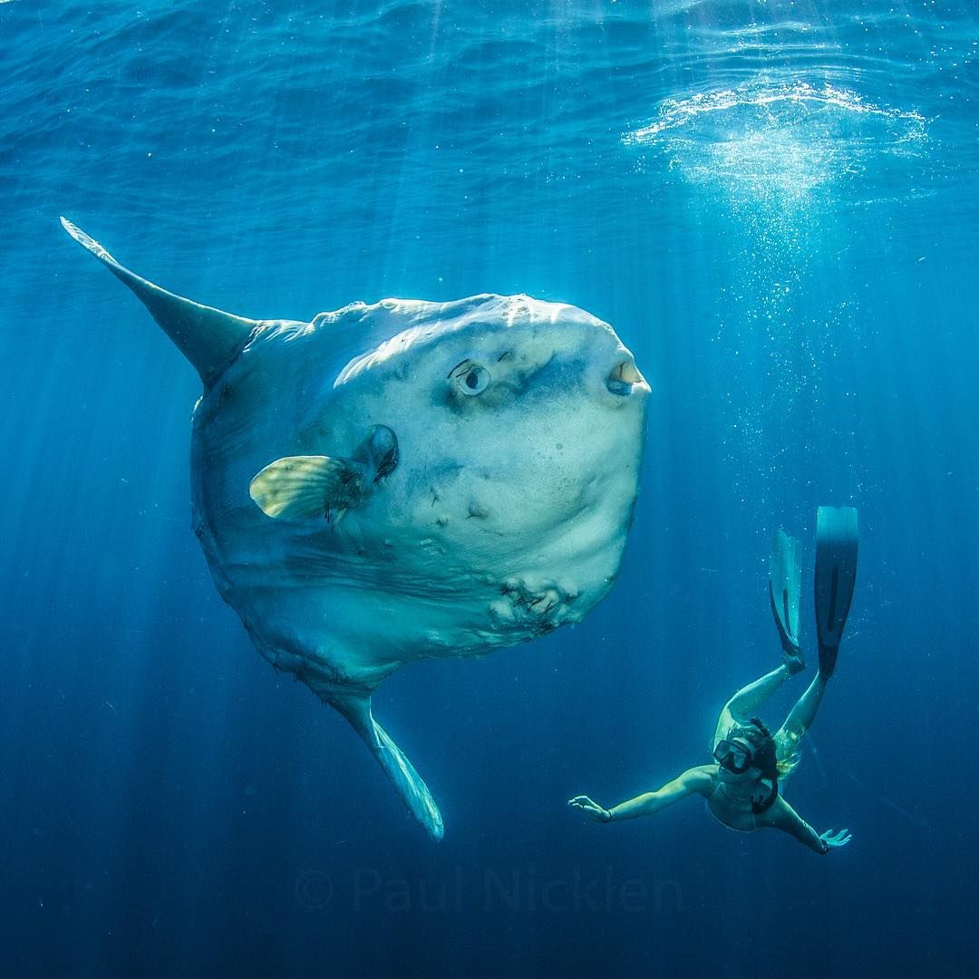 As promised to the @natgeo followers, here is an image of a large Mola mola (Sunfish) and  free-driver, @aprilbencze swimming into position for scale.  The Mola mola was actually approaching us as it wanted us to help rid itself of parasites.  Sunfish grow up to 2000 pounds, making them the largest bony fish in the world.  This fish must have been over 8 feet in diameter and I would love to know how much it weighed. By Paul Nicklen