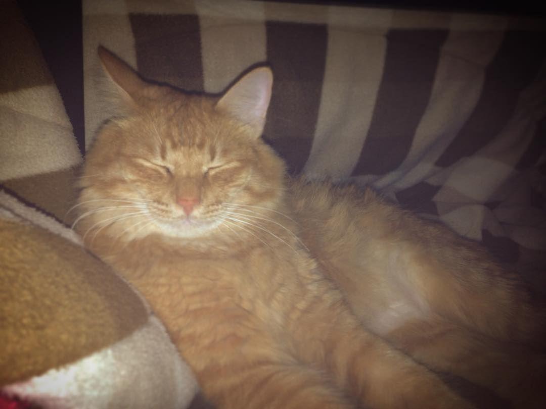 こたつの中でまったり . #こたつ #えるも #elmo #ねこ #猫 #cat #catstagram #catsofinstagram #catoftheday #insta_cat #ilovecat #orange #orangecat #tabbycat #茶トラ #ちゃとら #茶トラ男子部 #ふわもこ部 #ねこら部 #ふわふわ by elmo__28