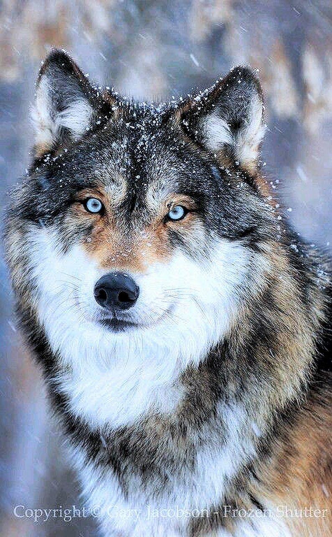 Pin Von Anna Steini Auf Tattoo Wolf Hunde Wolf Bilder Verliebte Wolfe