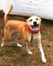 Adopt Ace On Beagle Mix Adoption Labrador Retriever