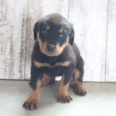Miranda Female Akc Rottweiler Puppy For Sale At Shipshewana