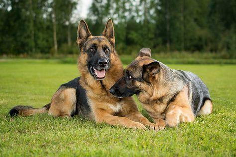 Read Message Wi Rr Com German Shepherd German Shepherd Dogs German Sheperd Dogs