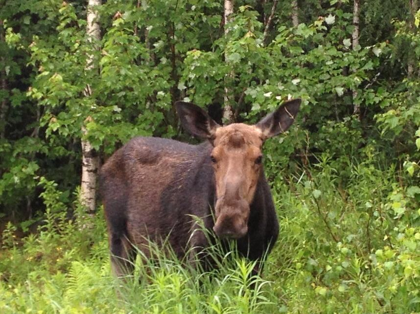 6effa5f0230fa816266cf40209bda129 mainehorse moose mainemoose our store moose just hanging out