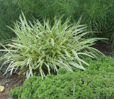 Variegated broadleaf sedge garden blades addiction for Variegated grass plant