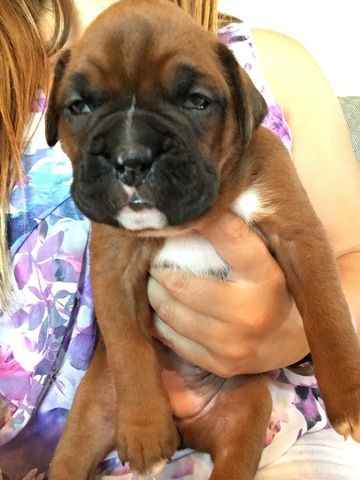Boxer puppy for sale in INDIANAPOLIS, IN. ADN47702 on