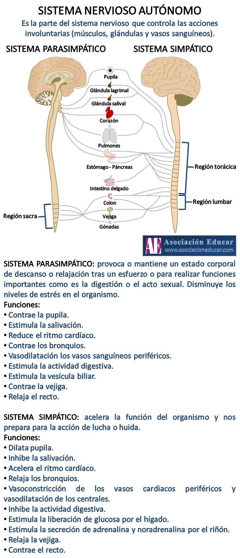 Infografía Neurociencias: Sistema nervioso autónomo; Sistema ...