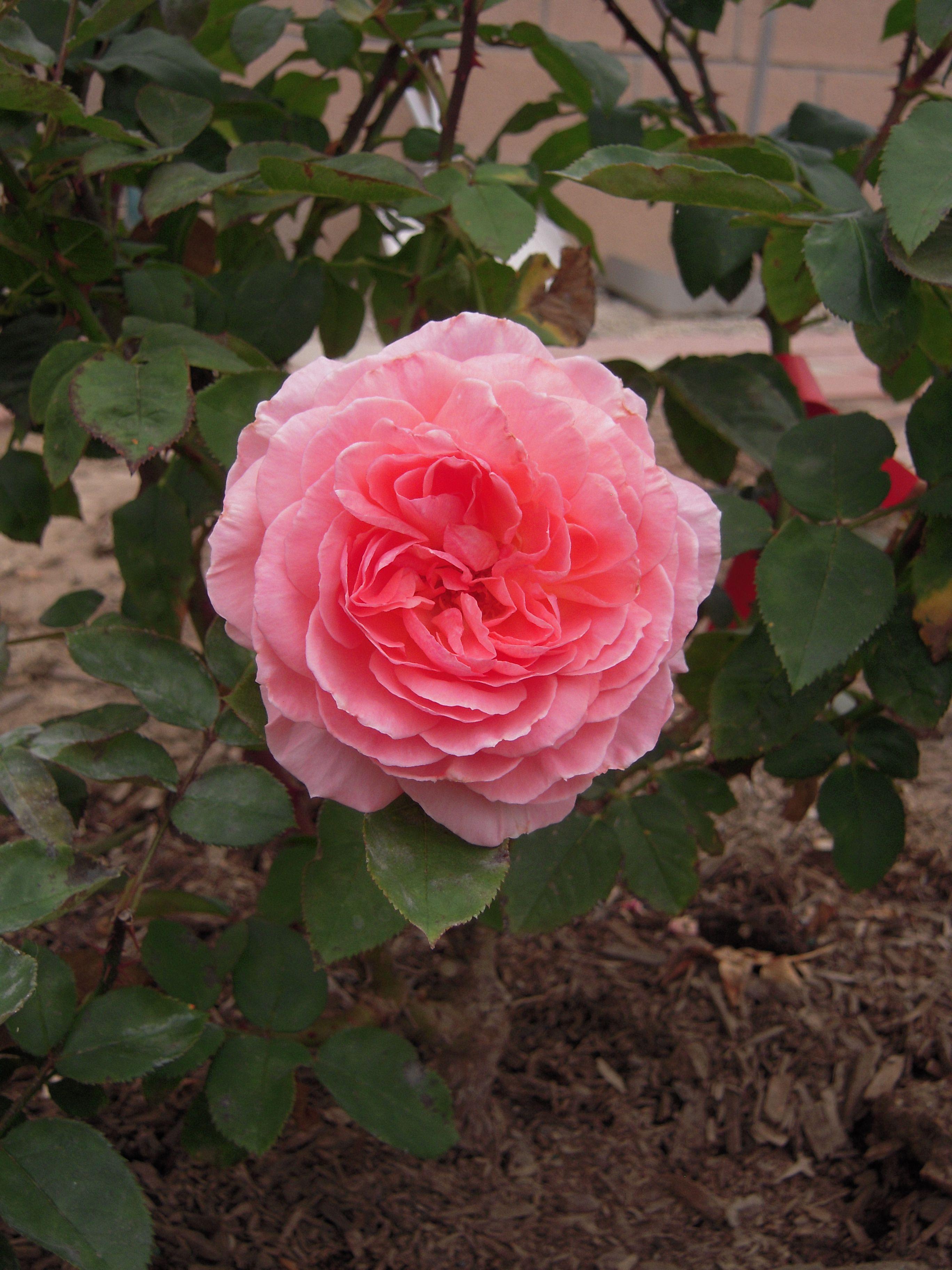 My New Rose Bush Liv Tyler Hybrid Tea Romantica You Can See More Photos On My Blog Here Http Whyilovetogarden Blogspot Hybrid Tea Roses Rose Tea Roses