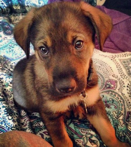 Gunner The German Shepherd Mix Hybrid Dogs Dog Breeds Puppies