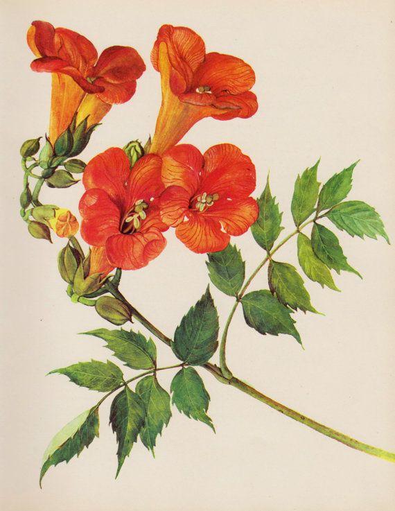 Botanical Flower Print Orange Flower Print Trumpet Vine ...  Botanical Flowe...